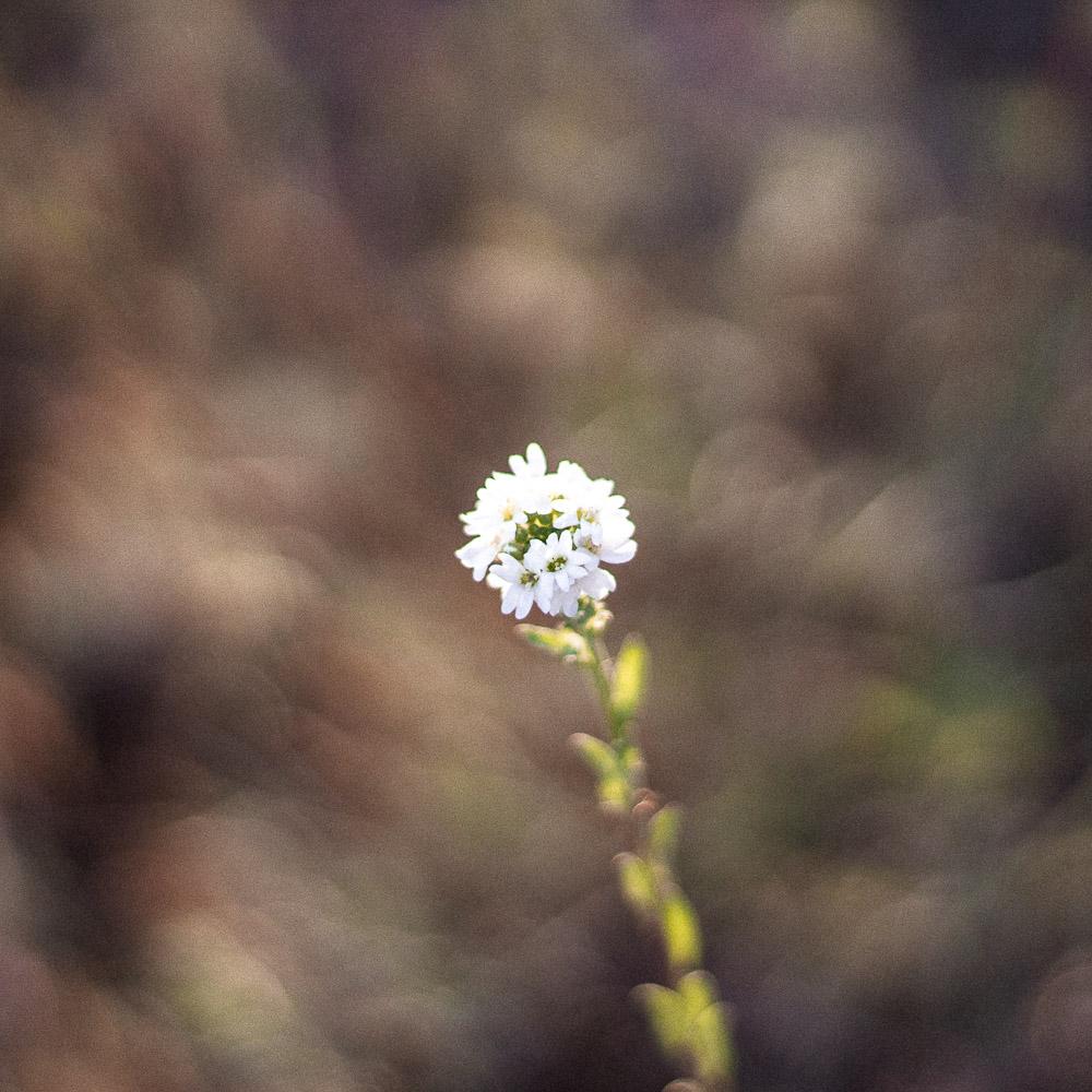 Blüte Nahaufnahme weiß